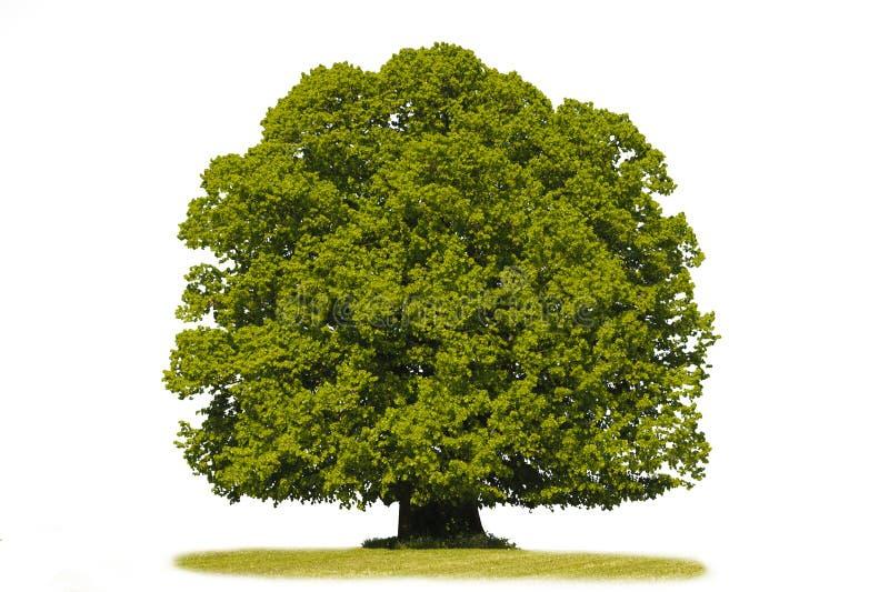 isolerad enkel tree för linden royaltyfri fotografi