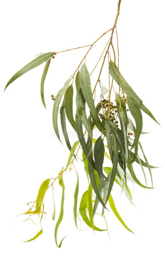 Isolerad eukalyptus royaltyfri fotografi