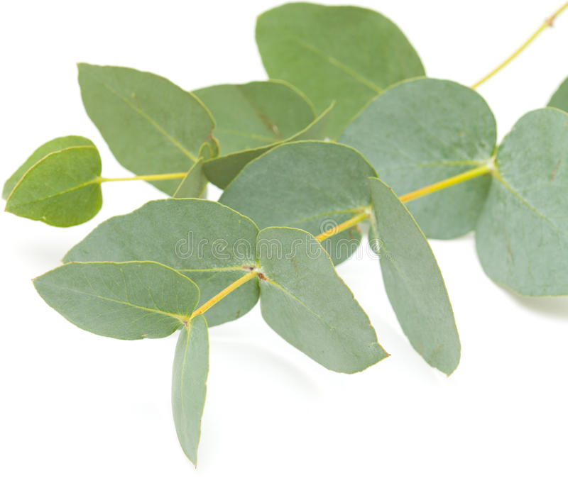 Isolerad eukalyptus arkivbilder
