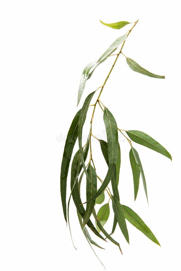 Isolerad eukalyptus royaltyfria foton