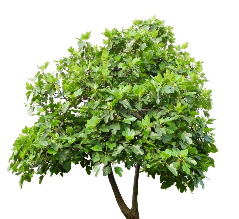 Isolerad fikonträd royaltyfri fotografi