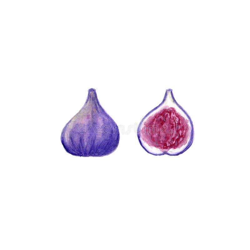 Isolerad fikonträd för hand utdragen vattenfärg vektor illustrationer