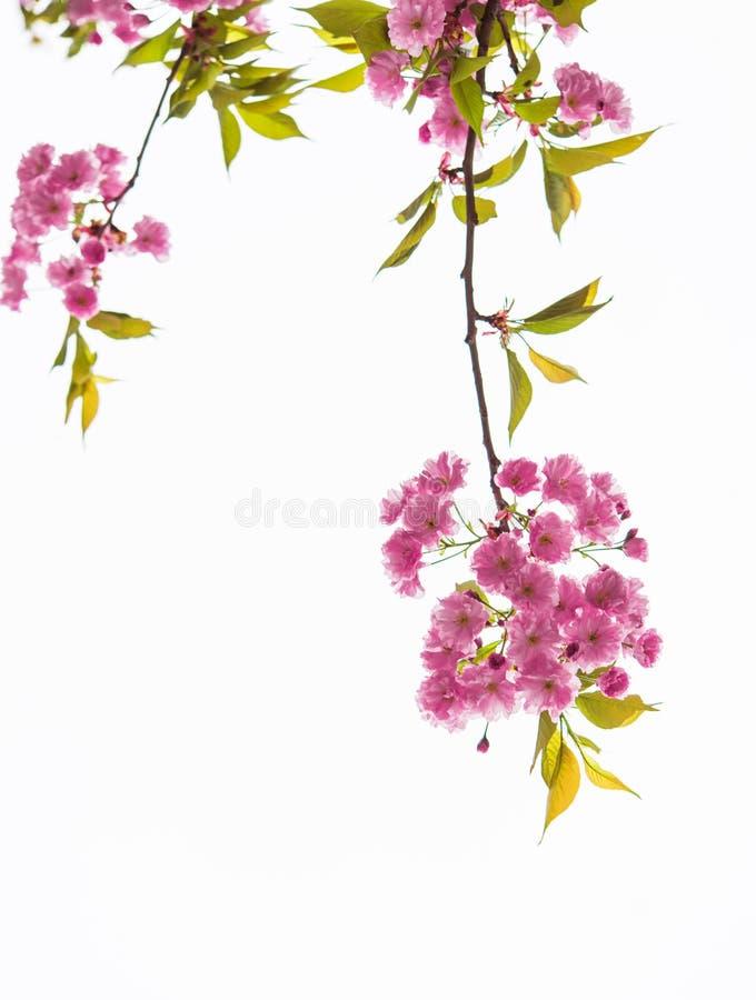 Isolerad filial av ett blommande rosa sakura träd på en vit bakgrund arkivfoto