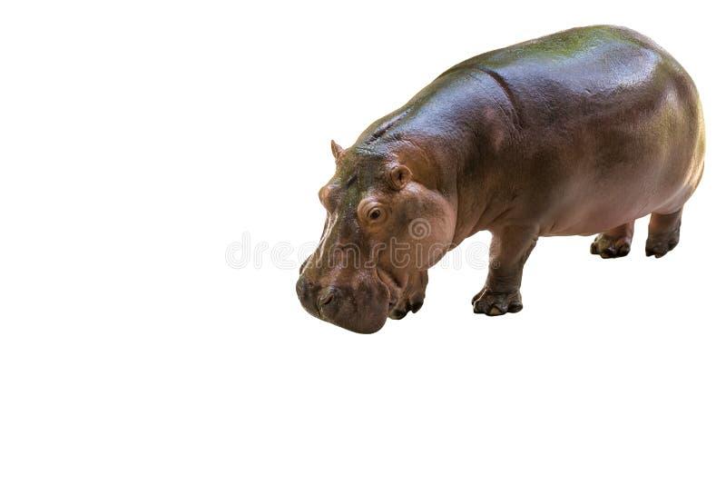 Isolerad flodhästpotamus arkivfoto