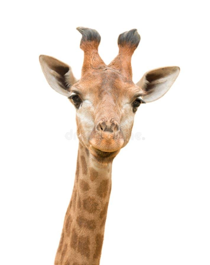 Isolerad giraff fotografering för bildbyråer