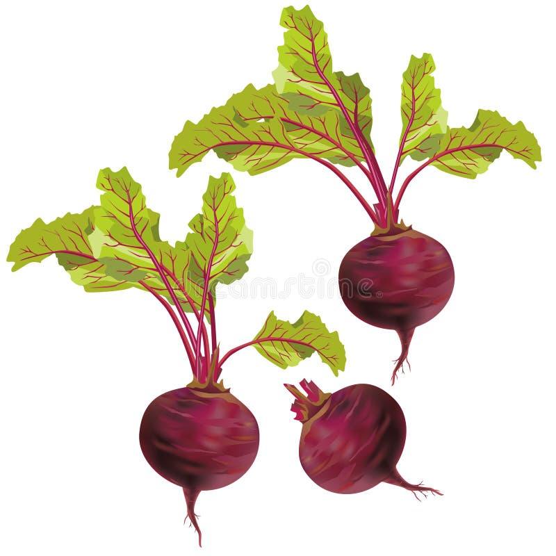 isolerad grönsakwhite för bakgrund beta vektor illustrationer