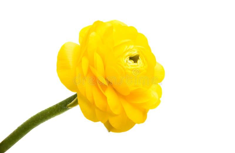 isolerad gul smörblomma arkivbild