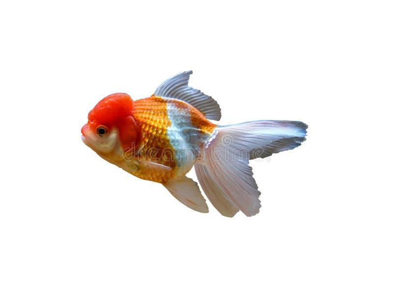 isolerad guldfisk arkivfoton