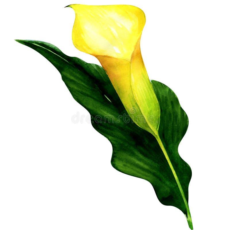 Isolerad härlig gul calla royaltyfri illustrationer