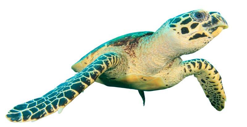 Isolerad havssköldpadda royaltyfri fotografi