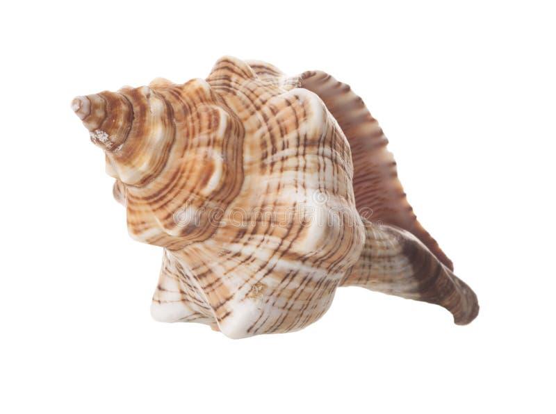 isolerad havsskalspiral royaltyfria bilder