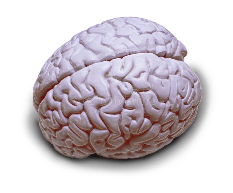 isolerad hjärnhuman royaltyfria bilder
