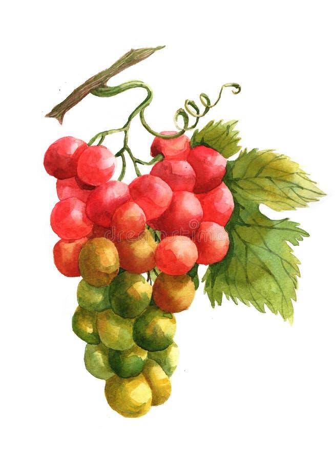 Isolerad illustration för vattenfärgdruvafrukter arkivfoton