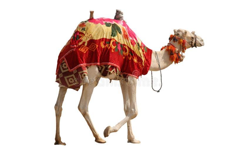 isolerad kamel royaltyfria foton