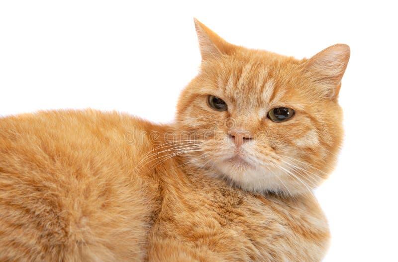 isolerad kattingef?ra royaltyfria bilder