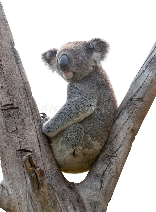 isolerad koala royaltyfri foto