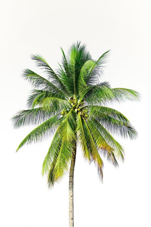 Isolerad kokosnötpalmträd arkivbilder