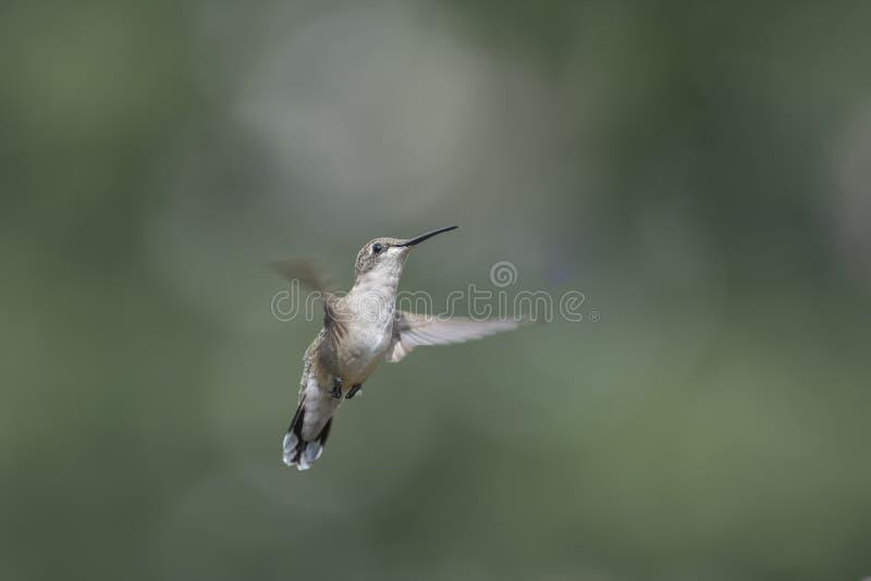 Isolerad kolibri i flykten fotografering för bildbyråer