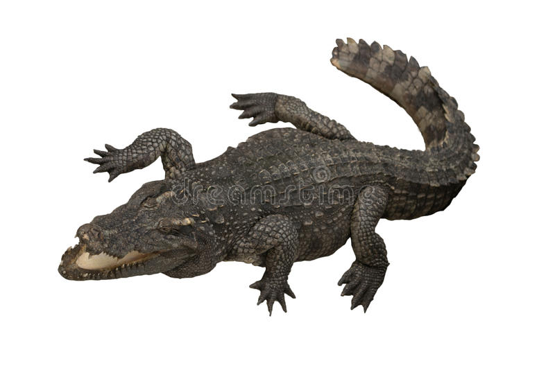 Isolerad krokodil royaltyfri foto