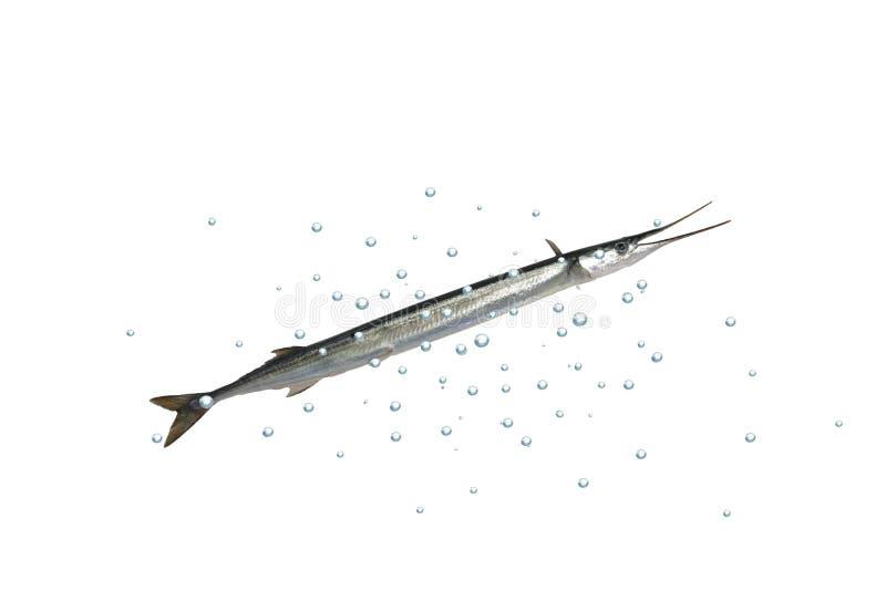 Isolerad lång garfish royaltyfri fotografi