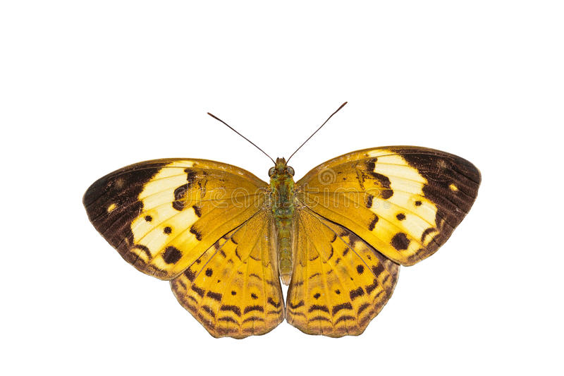 Isolerad lantlig fjäril (cuphaerymanthis) arkivfoto