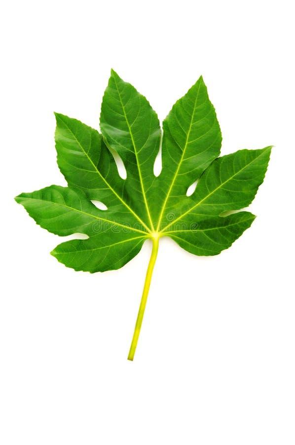 isolerad leaf för fig green royaltyfria bilder