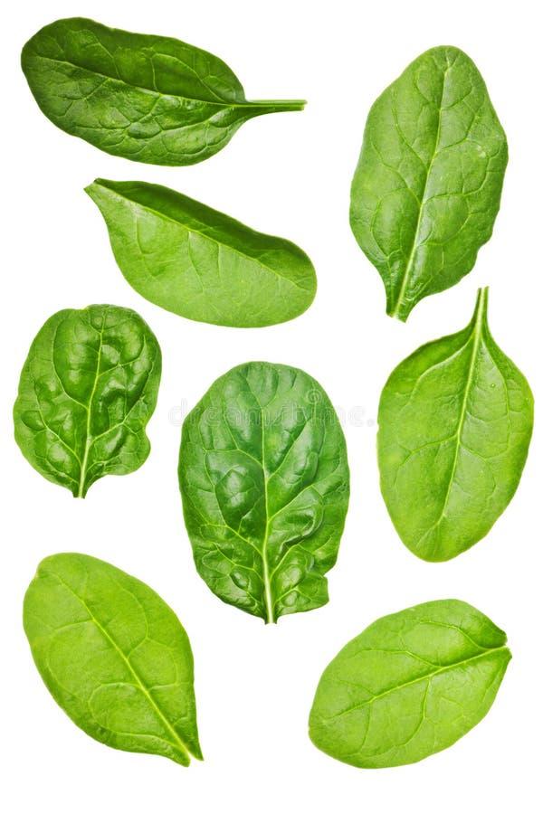 isolerad leafspenat arkivbild