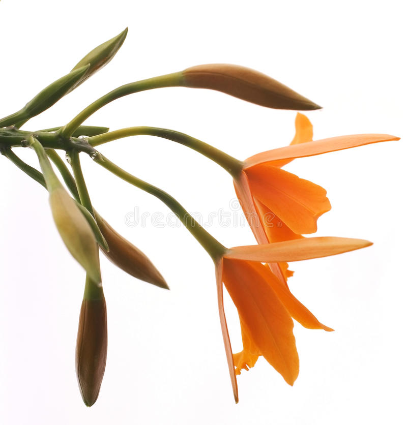 isolerad lelia orange orchidwhite fotografering för bildbyråer