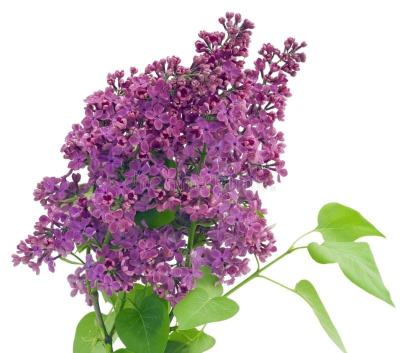 isolerad lila purple royaltyfri bild