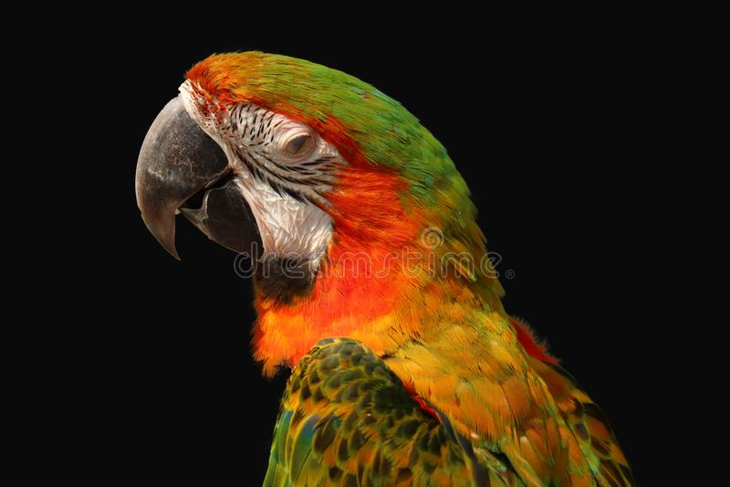 isolerad macawpapegoja royaltyfri foto