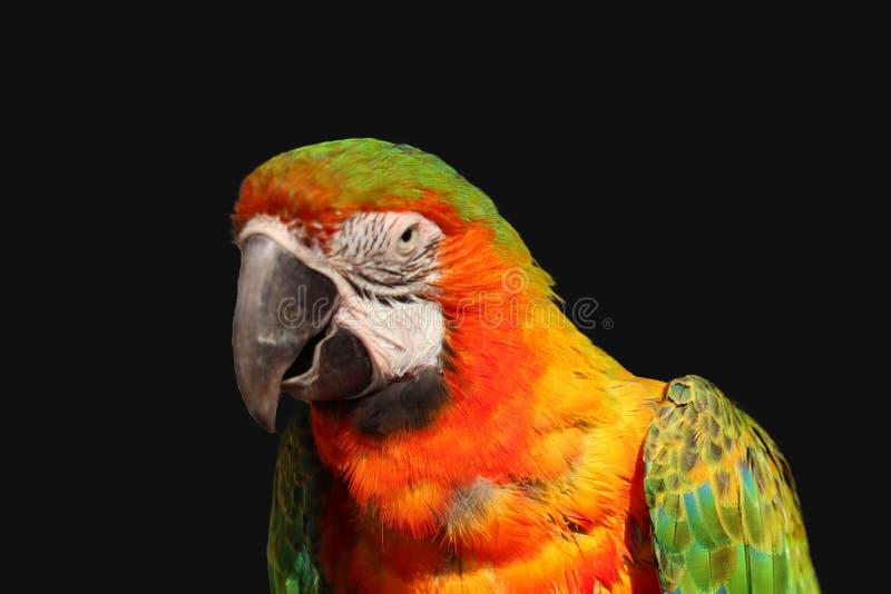 isolerad macawpapegoja fotografering för bildbyråer