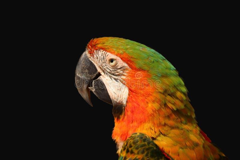 isolerad macawpapegoja arkivbilder