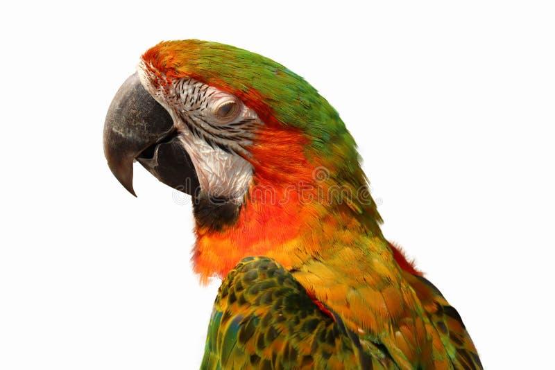 isolerad macawpapegoja royaltyfria foton