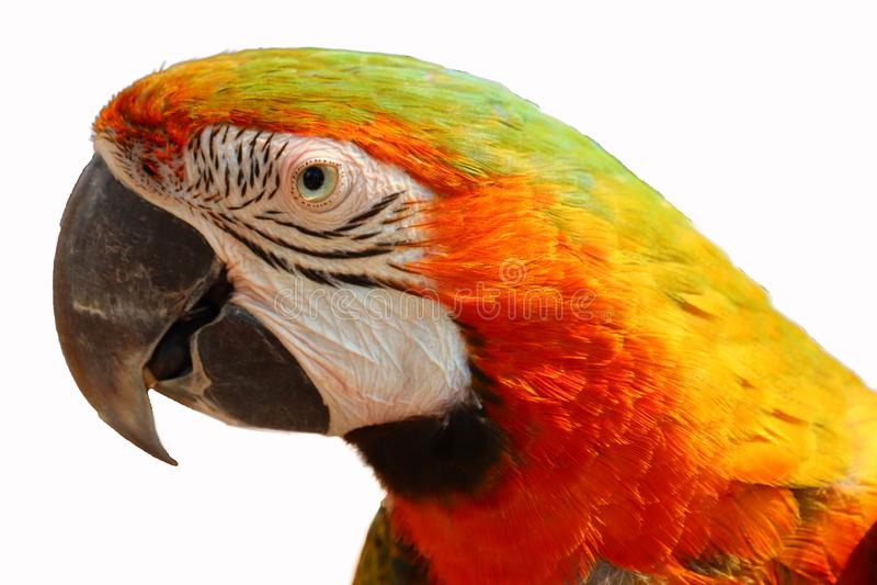 isolerad macawpapegoja royaltyfri bild