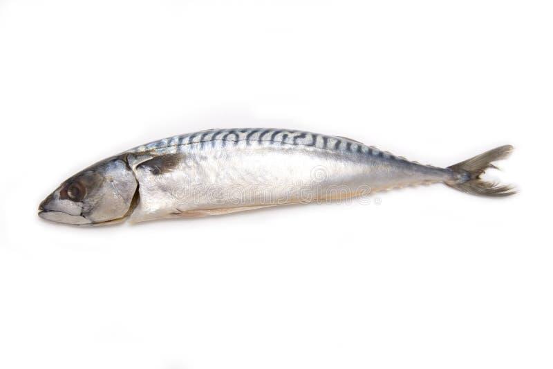isolerad mackerelwhite royaltyfria bilder
