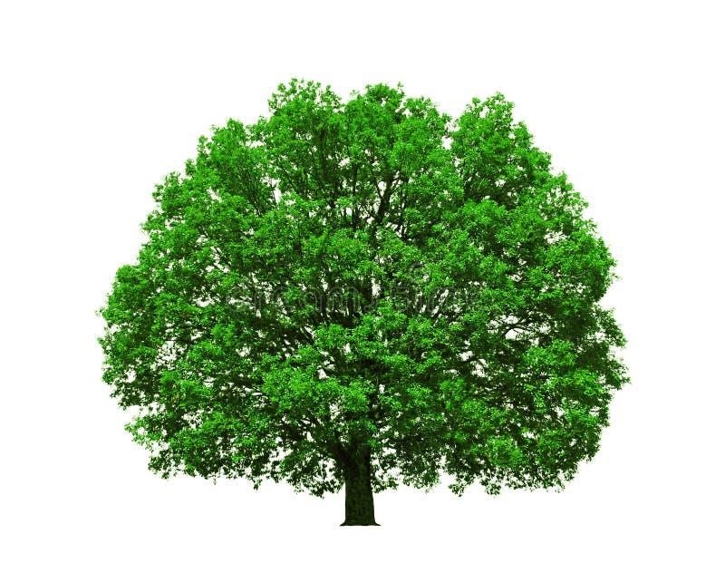 isolerad majestätisk oaktree arkivfoton