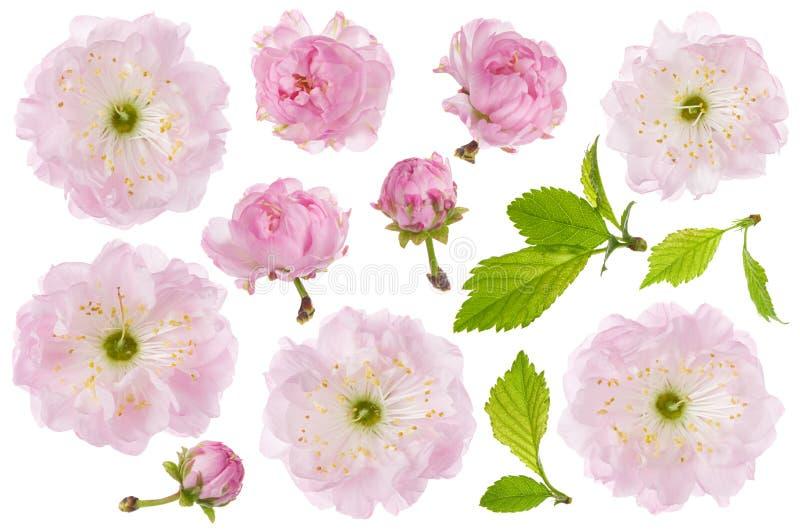 Isolerad mandelblomma Uppsättning av rosa mandelblommor för vår, knoppen och det gröna bladet som isoleras på vit bakgrund, närbi arkivbild