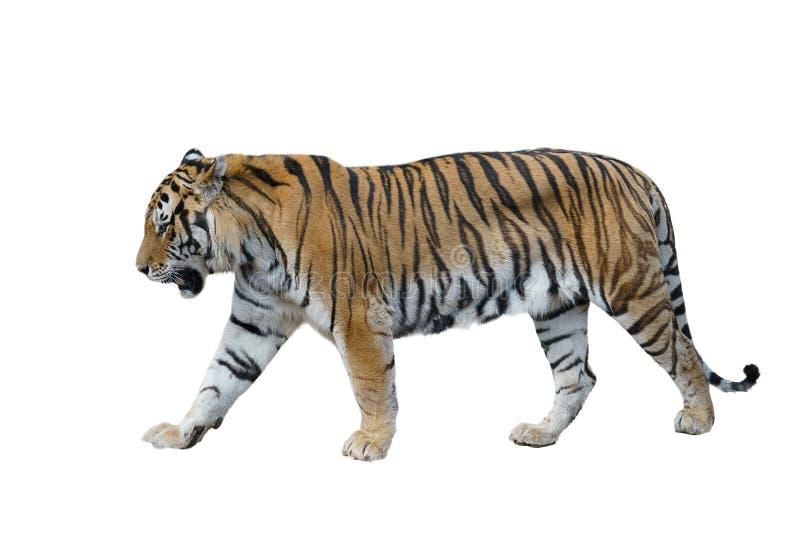 Isolerad manlig siberian tiger arkivfoto