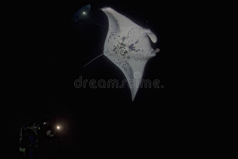 Isolerad manta i svart under en nattdyk arkivfoto