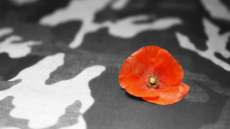 isolerad minnes- white för affischtavla dag Poppy Flower på kamouflagebakgrund royaltyfria foton