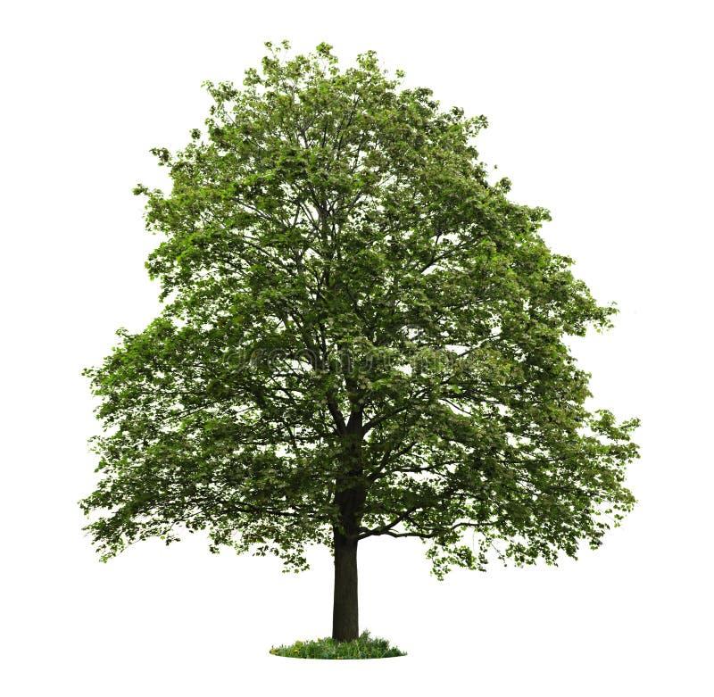 isolerad mogen tree för lönn arkivbild