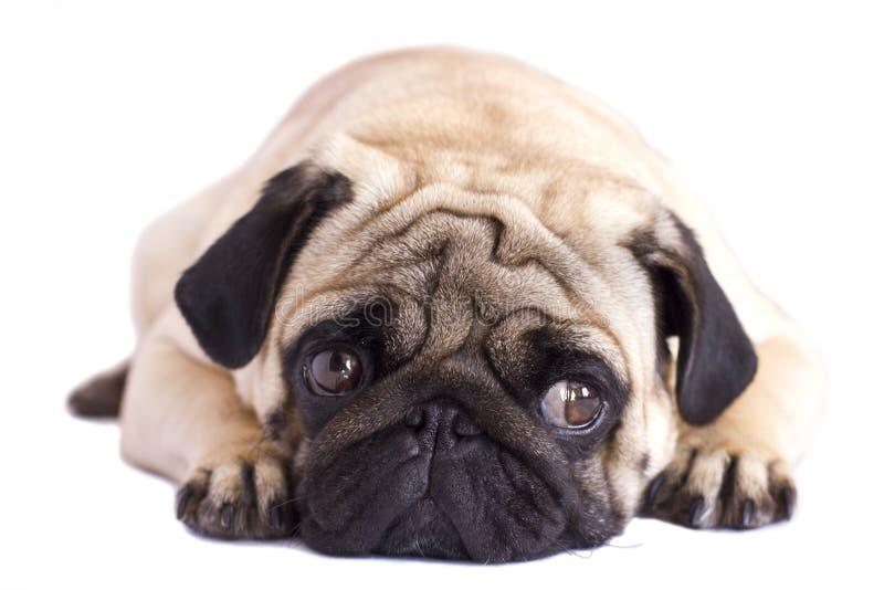 Isolerad mopshund Se ledset med stora ögon royaltyfri bild