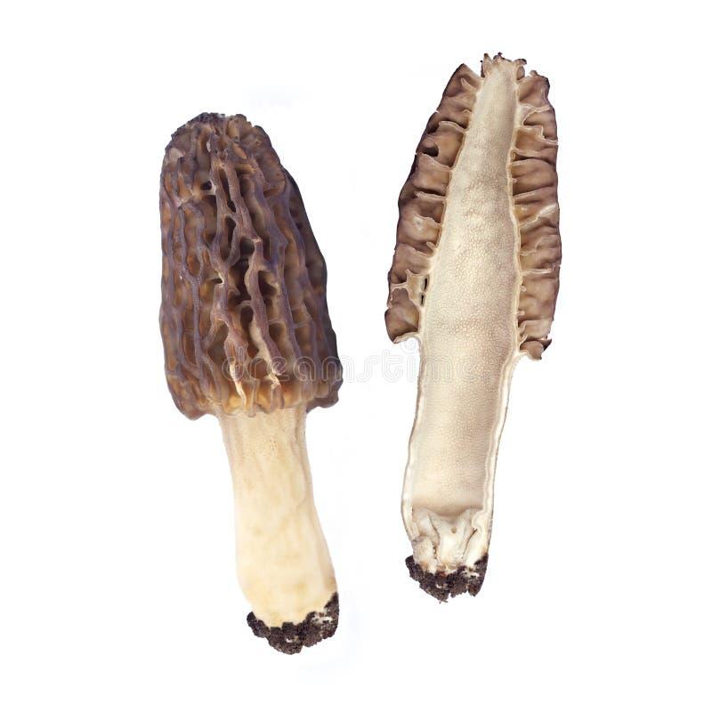 Isolerad Morelchampinjon arkivbild
