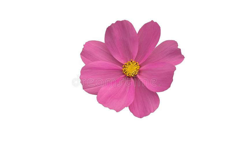 Isolerad närbild som blommar den rosa kosmosblomman royaltyfria foton