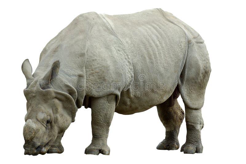 isolerad noshörning arkivbild