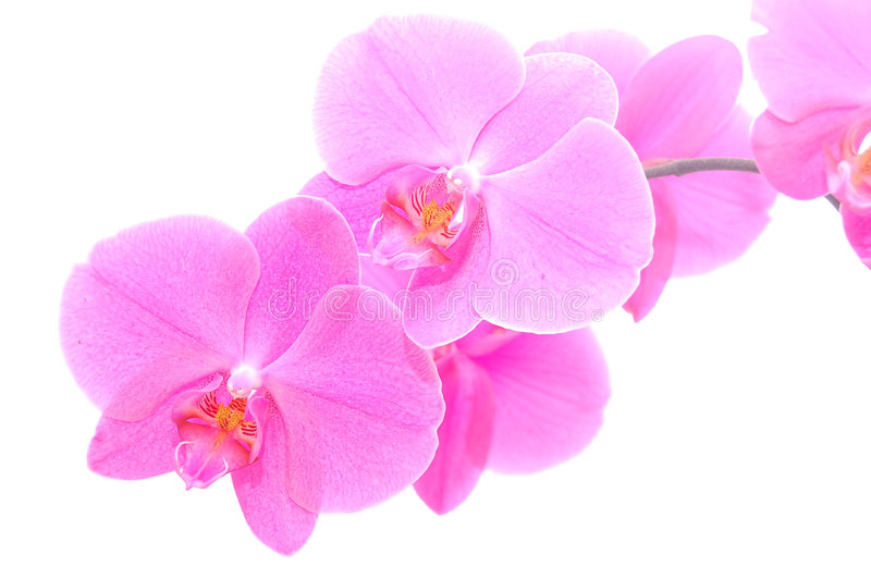 isolerad orchid royaltyfria bilder
