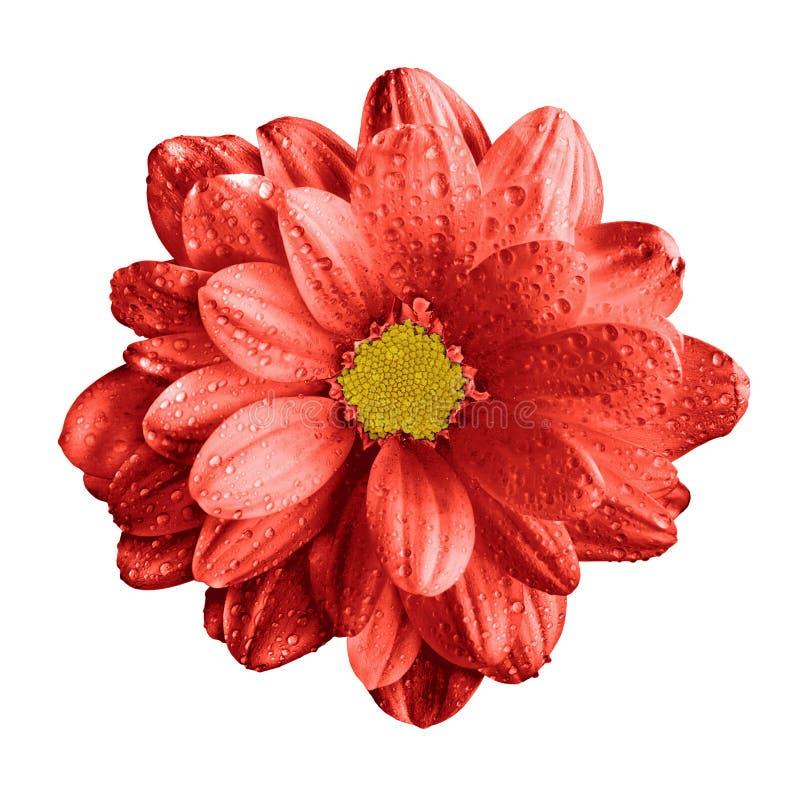 Isolerad overklig mörk för gerberablomma för krom röd makro arkivfoto
