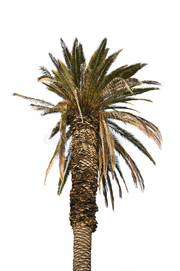 isolerad palmträd arkivbild