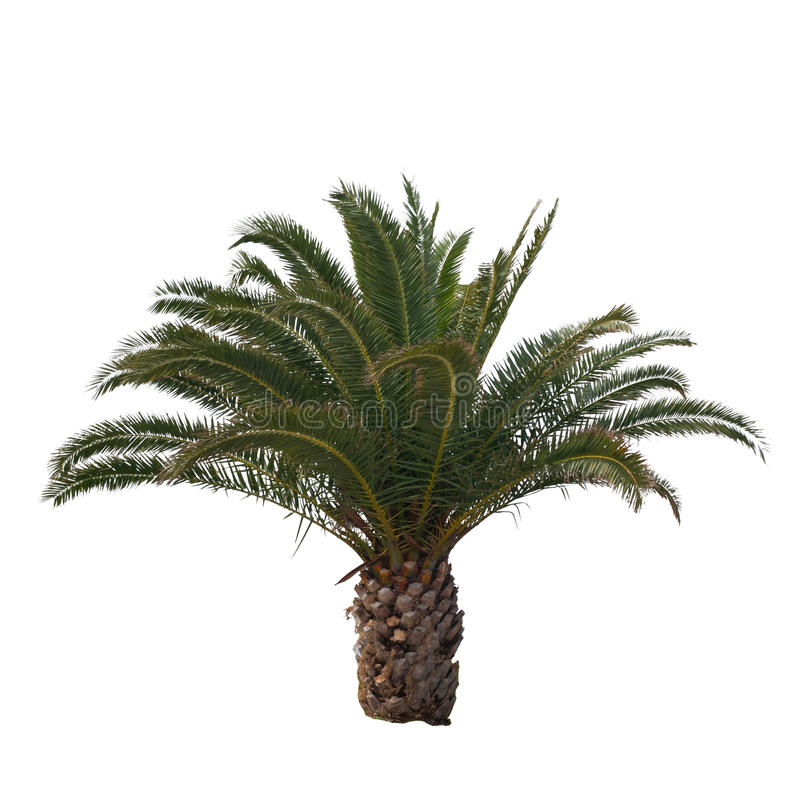 Isolerad palmträd royaltyfria foton