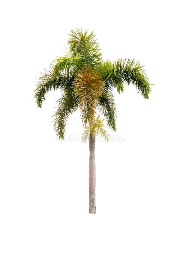 isolerad palmträdwhite arkivfoton